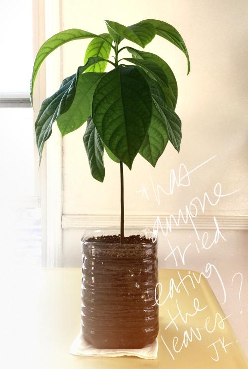 avocado_plant_thisislalaland